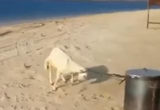 شاهد.. خروف يهرب من صاحبه قبل الذبح - المواطن