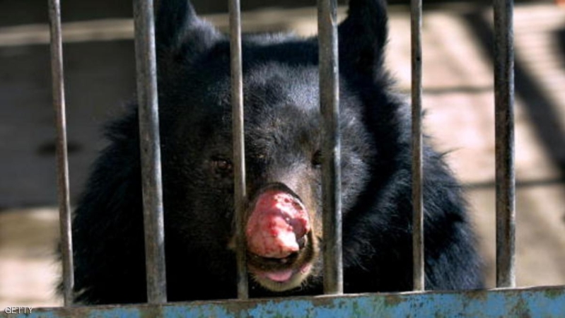 399611 07: Sambo, an 8-year-old Asiatic Black Bear, suffering from an infected nose, looks out from his cage at the Kabul Zoo January 14, 2002 in Afghanistan. Sambo suffers from an infected nose that grew worse from rubbing it against his cage. Members of The World Society for the Protection of Animals from Boston, Massachusetts recently arrived in Kabul to help the animals and improve the condition of the zoo. (Photo by Paula Bronstein/Getty Images)
