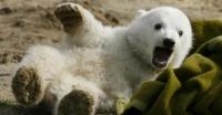 دب-قطبي