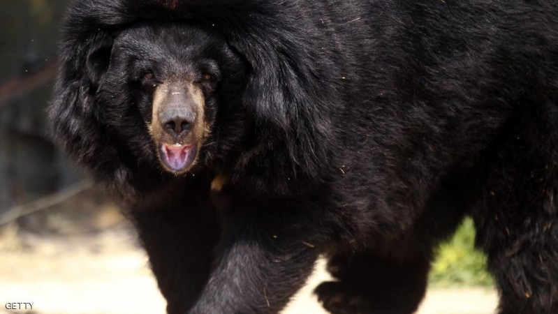 Viviane, an Asian black bear is back at home  in the African reserve of  Sigean on July 9, 2013 after 15 days of freedom when she escaped from her enclosure. The bear was not considered dangerous and was found at several kilometres  north of the reserve. AFP  PHOTO / RAYMOND ROIG        (Photo credit should read RAYMOND ROIG/AFP/Getty Images)