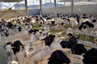 غرامة 1,6 مليون ريال على مخالفين لنظام الثروة الحيوانية - المواطن