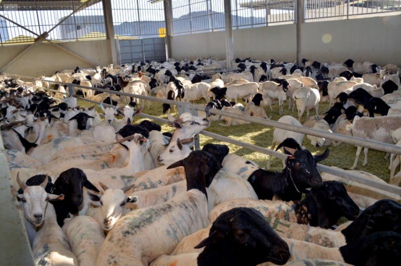 ذبح 243 ألف رأس من الأغنام و351 من البقر من الهدي والأضاحي