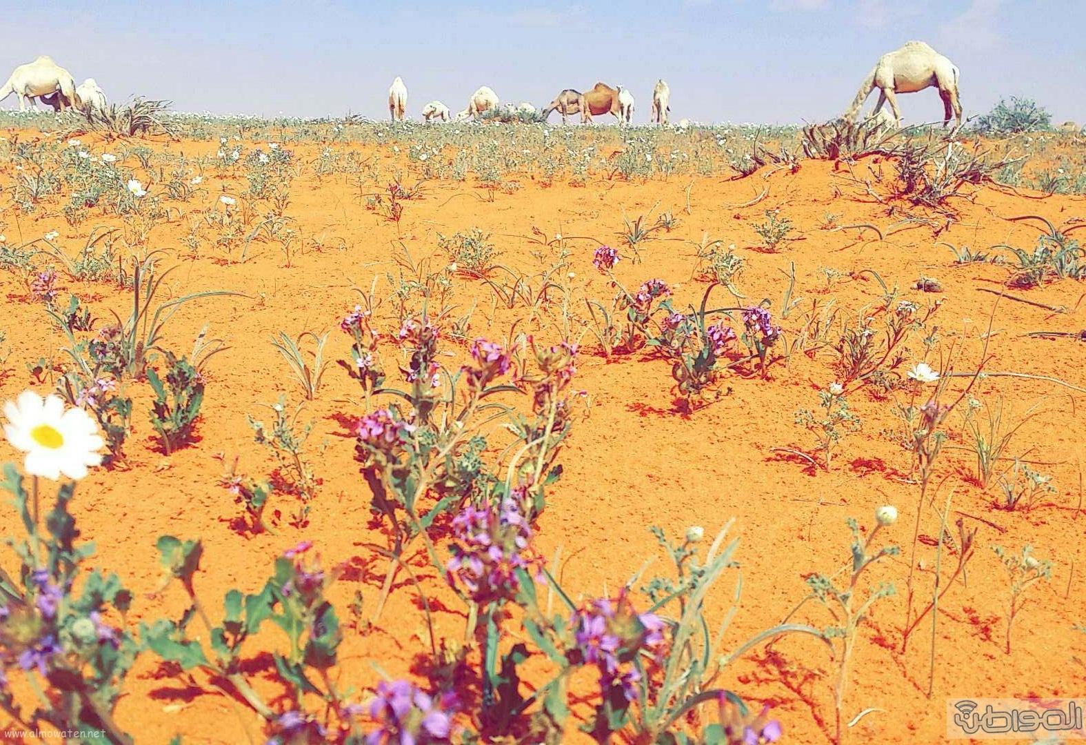 ربيع الجبيلي وعذفا شمال السعودية (3)