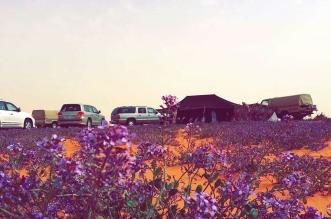 بالصور.. البنفسج يكسو أرض عذفاء #الجوف بربيع غاب 20 عاماً - المواطن