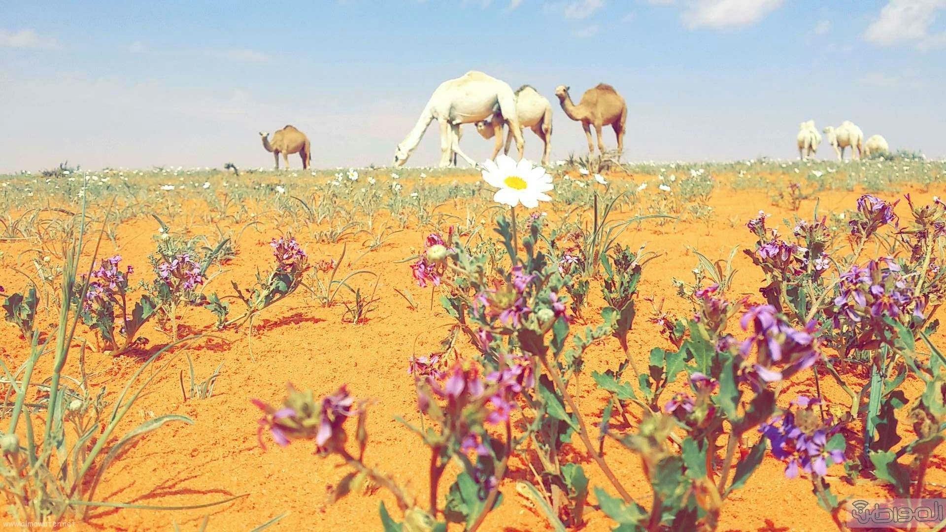 ربيع الجبيلي وعذفا شمال السعودية (7)