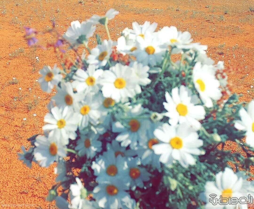 ربيع الجبيلي وعذفا شمال السعودية (8)