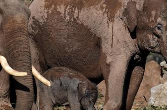 رصد أكبر قطيع من الفيلة الآسيوية بغابات كمبوديا - المواطن