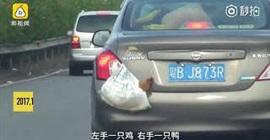 شاهد.. سائق ينقل بطة ودجاجة بطريقة غريبة - المواطن