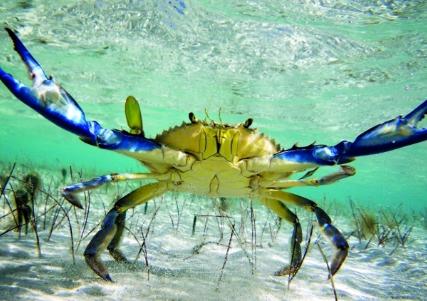 سرطانات البحر الازرق