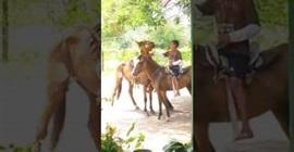 -محرج-لرجل-حاول-اعتلاء-حصان