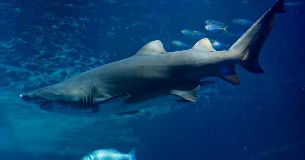 سمكة-القرش