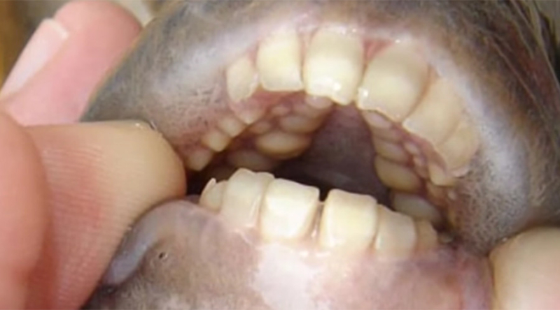 سمك استوائي بأسنان إنسان