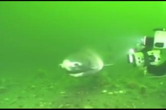 شاهد.. العثور على سمك قرش عملاق يعيش 400 سنة! - المواطن