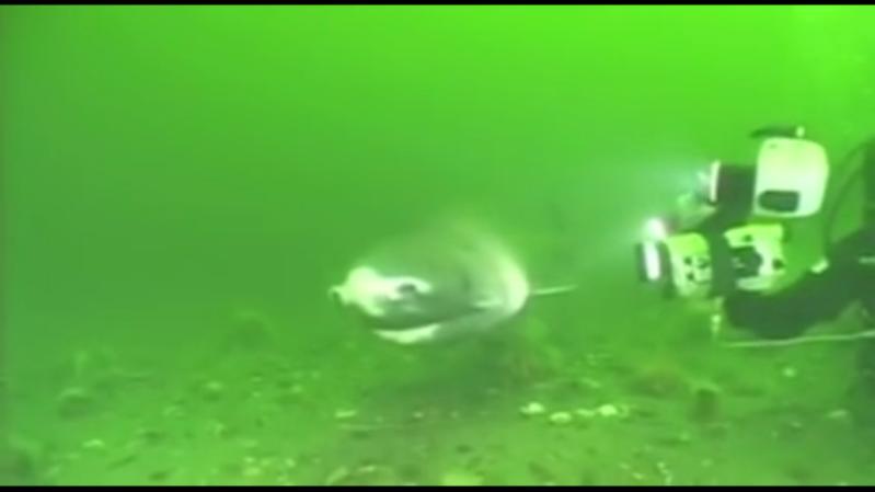 سمك قرش عملاق