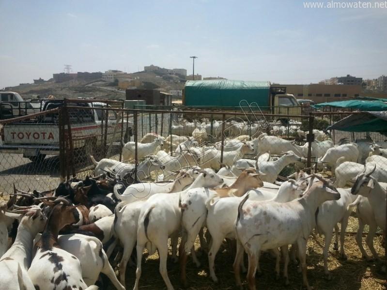 سوق-المواشي-أبها (1)