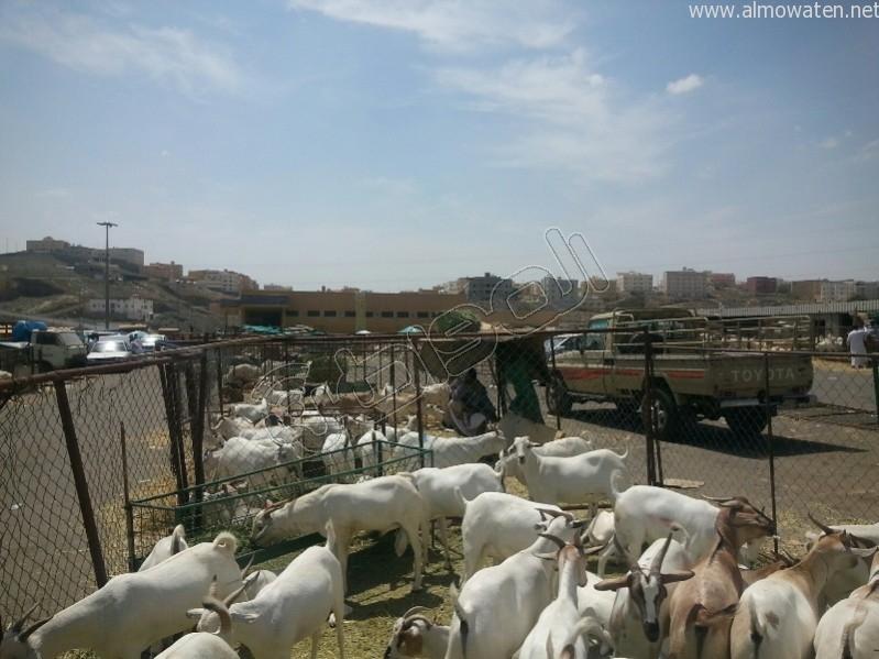 سوق-المواشي-أبها (3)