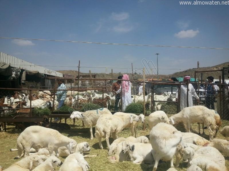 سوق-المواشي-أبها (5)