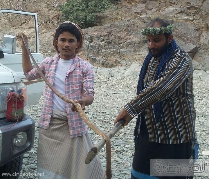 شابان في تهامة عسير يقضيان على كوبرا (1)
