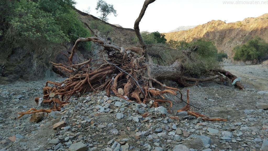 شاهد.. أمطار بني مأجور بـ #عسير تقتلع الأشجار وتجرف معدة صغيرة (3)