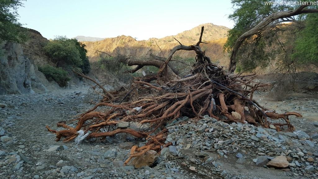 شاهد.. أمطار بني مأجور بـ #عسير تقتلع الأشجار وتجرف معدة صغيرة (4)
