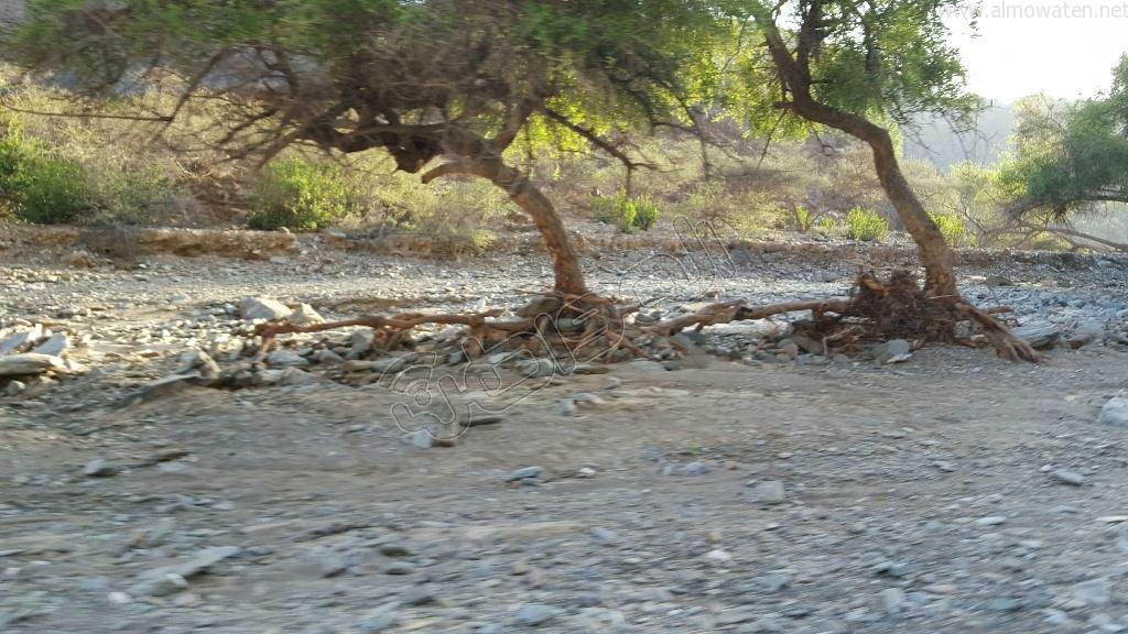 شاهد.. أمطار بني مأجور بـ #عسير تقتلع الأشجار وتجرف معدة صغيرة (5)