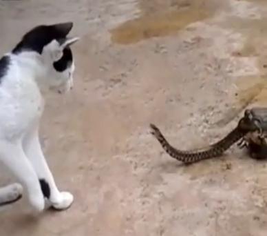 شاهد.. ضفدع يحاول التهام ثعبان أثناء عراكه مع القط
