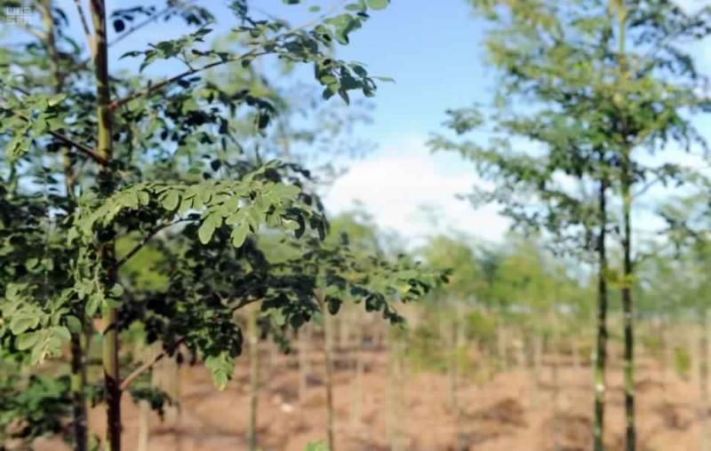 بالصور شجرة البان العربي حسن المنظر وفوائد طبية عديدة صحيفة المواطن الإلكترونية