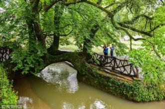 شاهد.. شجرة معمرة تتخذ شكل جسر بين ضفتي نهر - المواطن