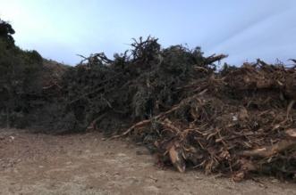 البيئة تنتصر لأشجار العرعر وتغرم مقاول عسير 50 ألف ريال - المواطن