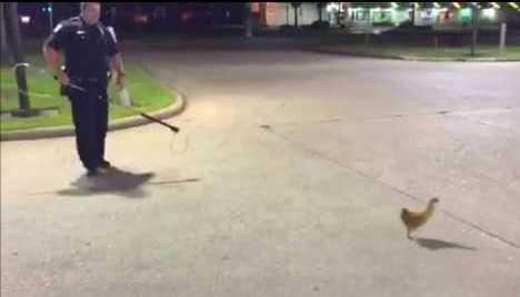 شرطة تكساس تطارد دجاجة في فريبورت