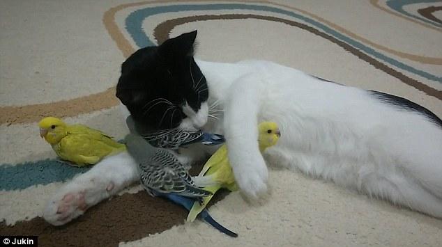 صداقة غريبة بين قط وعصافير الكناريا 2