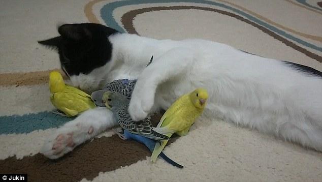 صداقة غريبة بين قط وعصافير الكناريا 5