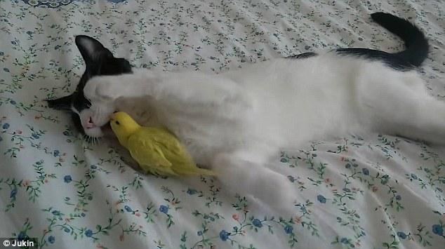 صداقة غريبة بين قط وعصافير الكناريا 6