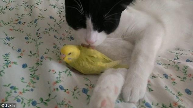 صداقة غريبة بين قط وعصافير الكناريا 8877