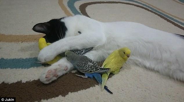 صداقة غريبة بين قط وعصافير الكناريا