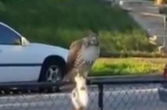 شاهد .. صقر يصطاد قطاً من أحد المنازل - المواطن