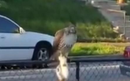 صقر يصطاد قطا