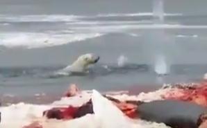 صيادون يطلقون النار على دب قطبي