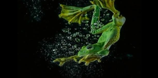 ضفدعة تناور تحت الماء