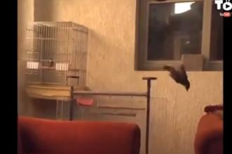 بالفيديو.. طائر محترف ينفّذ أمر مدرّبه ببراعة - المواطن