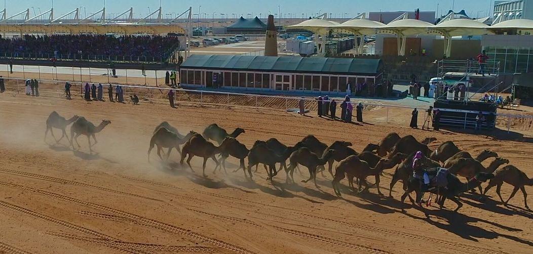 اليوم.. استعراض 570 متنًا في فئة جْمل 30 شعل بمهرجان الملك عبدالعزيز للإبل