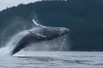 شاهد.. ظهور الحوت الاحدب يثير الدهشه - المواطن