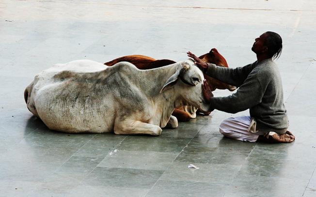 عبادة البقر