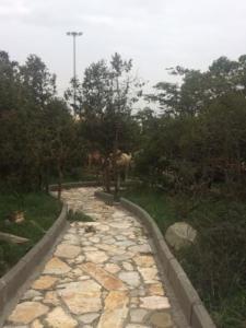 عدد من الإبل تلتهم اشجار منتزه الشرف بالنماص بعيدا عن الرقابه6