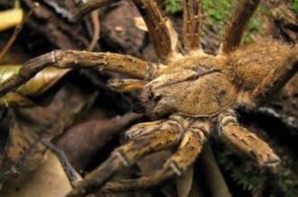شاهد.. أكبر العناكب في العالم لن تصدق أنها موجودة حقاً..!! - المواطن