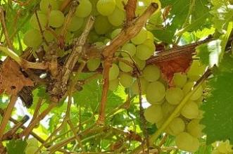 """محافظ ميسان يفتتح مهرجان """"العنب"""" الأوّل بمركز """"بني سعد"""" الثلاثاء المقبل - المواطن"""