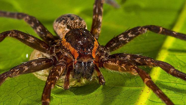عنكبوت خطير بحجم كف (2)