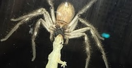عنكبوت ياكل سحلية
