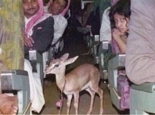 «غزال» على متن طائرة الخطوط الجوية السعودية