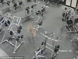 شاهد.. غزال يقتحم صالة رياضية في أمريكا